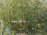 bamboomay30.jpg