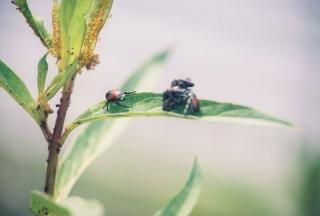 Japanese beetle sex