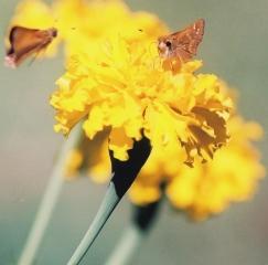 mothsongiantmarigold.jpg