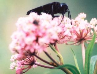 katydid wasp