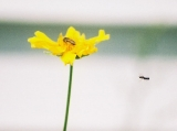 fly going to coreopsis
