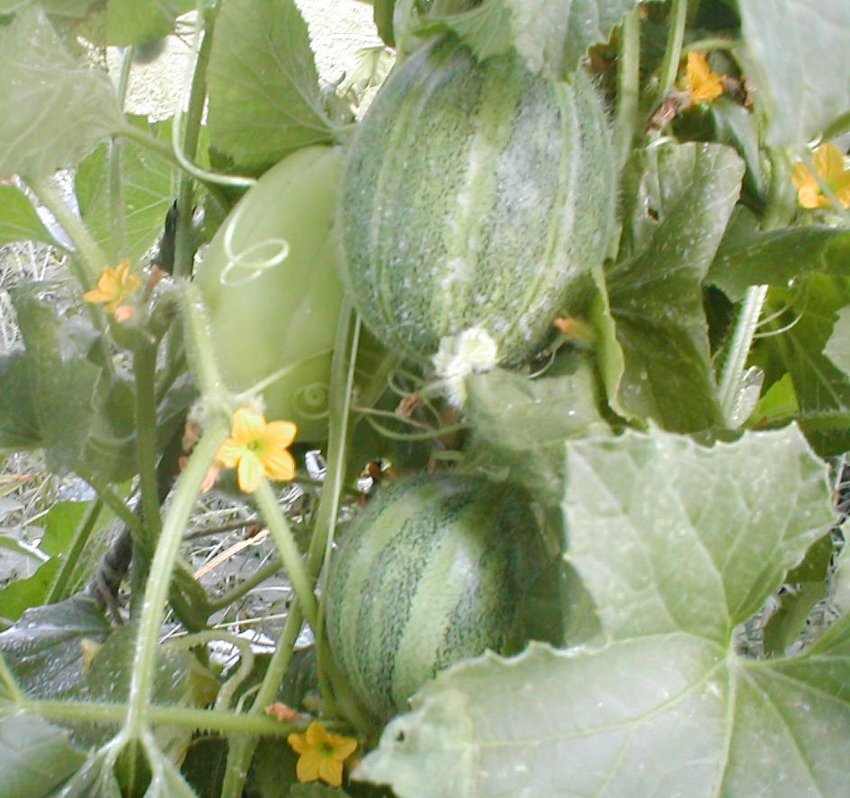 Juli Lawrence – Rakish Gardening » Blog Archive » Squirrels eating ...