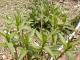 bfly weed