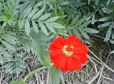 mexicansunflowertorch.jpg