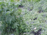 tansy in the hairy vetch