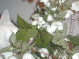 Jasmine and mock orange