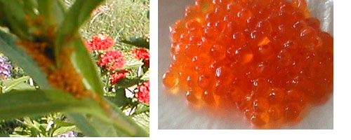 Aphids or Caviar?