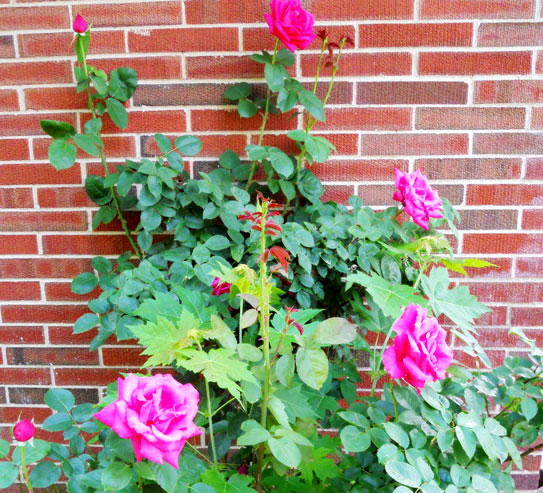 One of two rosebushes